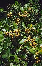 Corynocarpus laevigatus click thru to article photograph by Jeremy Rolfe