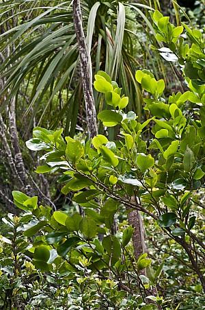 Griselinia-lucida-09.jpg: 1063x1600, 856k (2017 Apr 24 00:00)