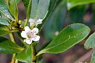 Myoporum laetum click thru to article photograph by Jeremy Rolfe
