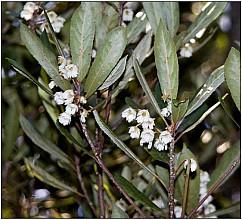Elaeocarpus dentatus click thru to article photograph by Jeremy Rolfe