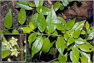 Geniostoma ligustrifolium var. ligustrifolium click thru to article photograph by Jeremy Rolfe