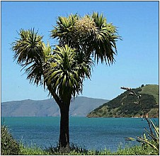 Cordyline australis click thru to article photograph by teara.govt.nz