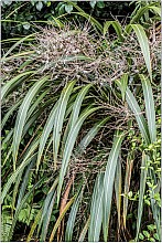 Cordyline banksii click thru to article photograph by Jeremy Rolfe