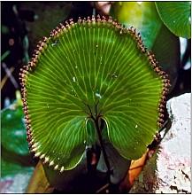 Hymenophyllum nephrophyllum click thru to article photograph by Jeremy Rolfe