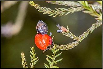 Dacrycarpus dacrydioides click thru to article photograph by Jeremy Rolfe