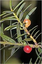 Podocarpus totara click thru to article photograph by Jeremy Rolfe