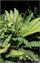 Blechnum discolor click thru to article photograph by Jeremy Rolfe