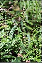 Blechnum penna-marina click thru to article photograph by Jeremy Rolfe
