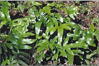 Microsorum pustulatum subsp. pustulatum click thru to article photograph by Jeremy Rolfe