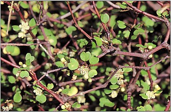 Muehlenbeckia astonii click thru to article photograph by Jeremy Rolfe