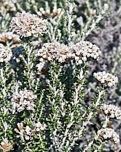 Ozothamnus leptophyllus click thru to article photograph by Jeremy Rolfe