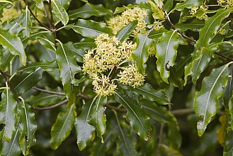 Pittosporum eugenioides click thru to article photograph by Jeremy Rolfe