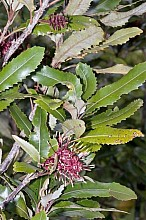 Knightia excelsa click thru to article photograph by