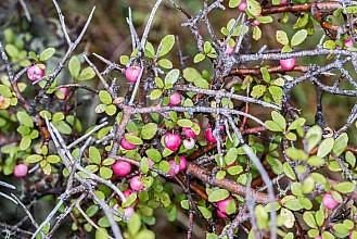 Aristotelia fruticosa click thru to article photograph by Jeremy Rolfe
