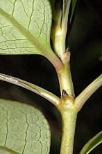 Coprosma robusta click thru to article photograph by Jeremy Rolfe
