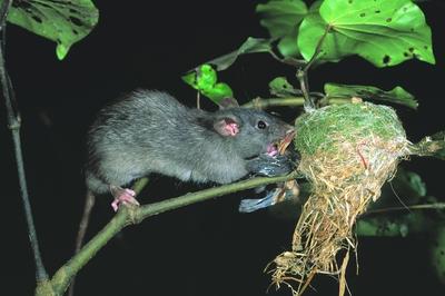Predator_rat in fantail nest_DOC D Mudge 400.jpg: 400x266, 78k (2014 Jul 21 06:28)