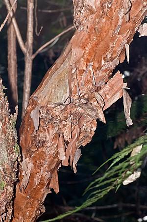 Fuchsia-excorticata-10.jpg: 1063x1600, 635k (2017 Apr 25 00:00)