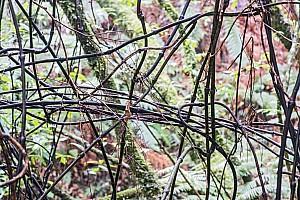 Ripogonum-scandens-15a.jpg: 1600x1068, 785k (2017 Apr 24 04:09)