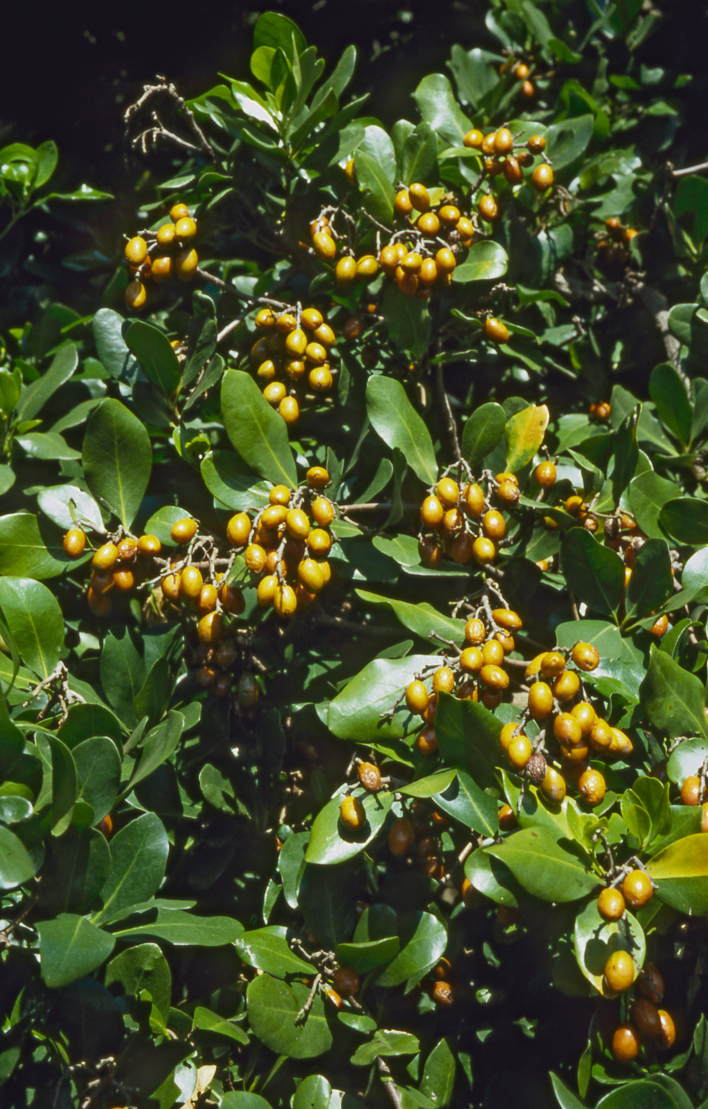 click on the photo to download the original image  Corynocarpus-laevigatus-02