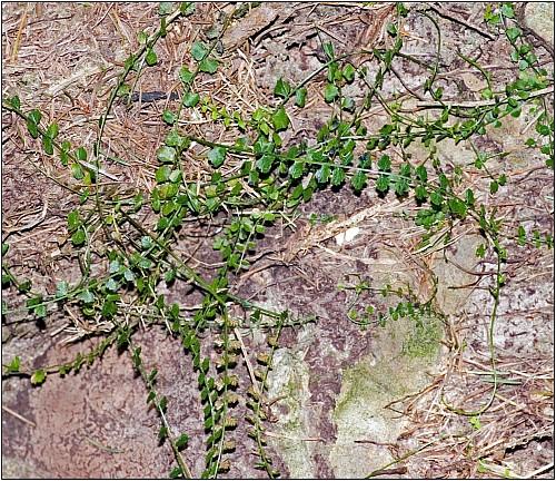Aspleniumflabellifolium.jpg: 1239x1071, 355k (2016 May 29 08:52)