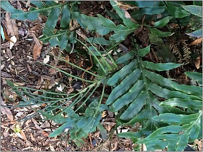 Sterile peretao fronds with one fertile frond  Photo: Jeremy Rolfe