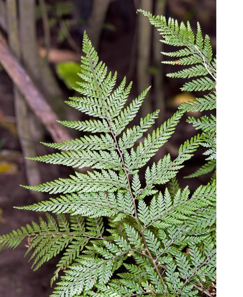 click on the photo to download the original image  SmoothShieldFern