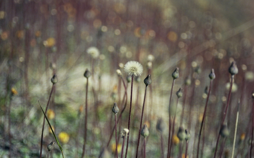 click on the photo to download the original image  Seeding Dandelions - Trish Gardiner-Smith
