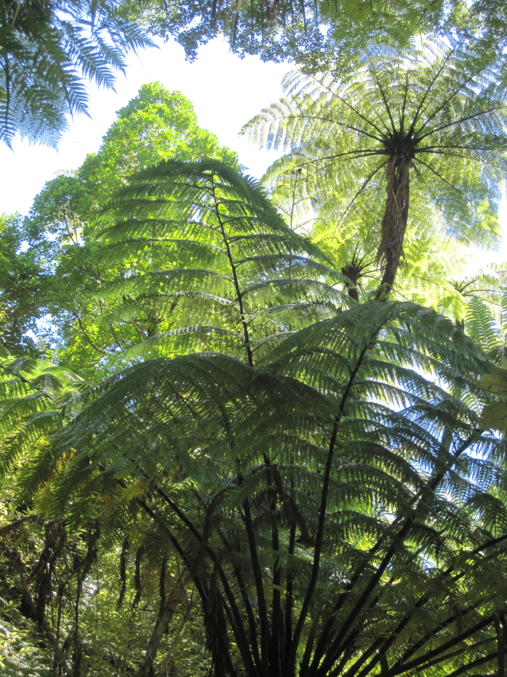 click on the photo to download the original image  NFF - Trish Gardiner-Smith - Tree ferns