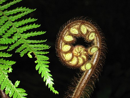 click on the photo and click again on the photo to download the original image  Koru - Trish Gardiner-Smith